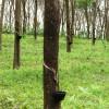 Αποψιλώνονται δάση για να γίνουν φυτείες καουτσούκ